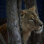Santa Fe: rescataron a una leona y un tigre de bengala tras allanar un establecimiento rural